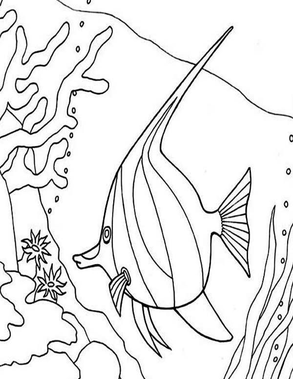 Angel Fish Between Coral Reefs Coloring Page | Coloring Sky