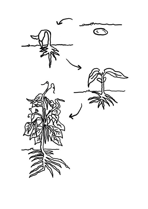 bean plant lifecycle growing plants coloring page