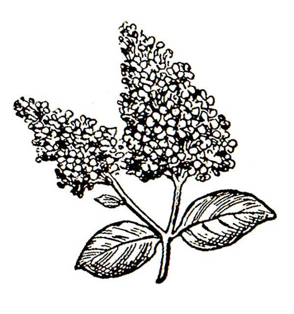 lilac flower coloring page beautiful drawing of lilac flower coloring