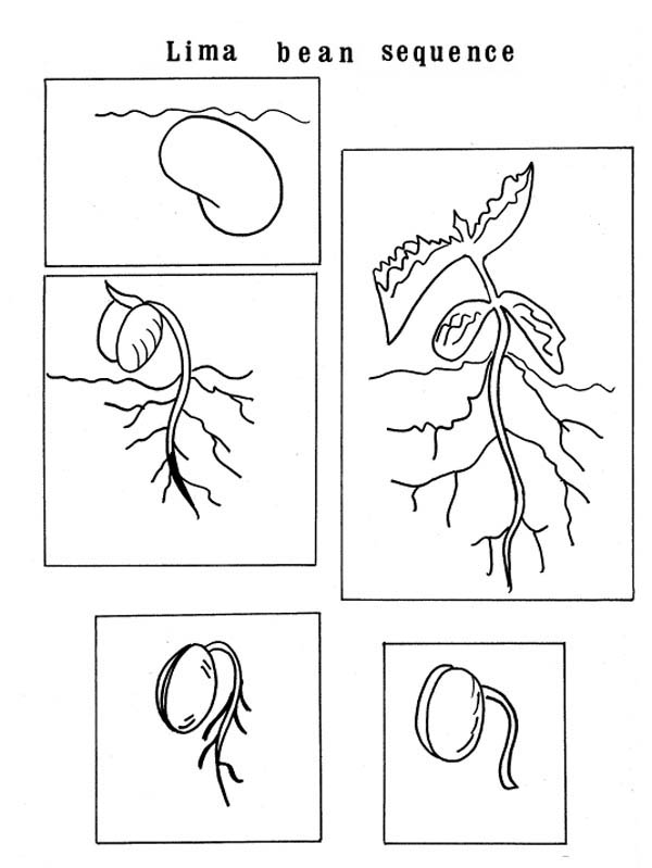 Free coloring pages of bean plant life cycle for Planting seeds coloring pages