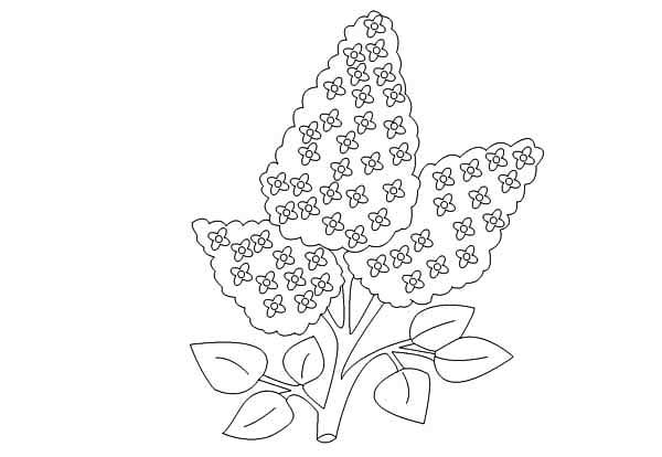 87 Lilac Flower Coloring Page
