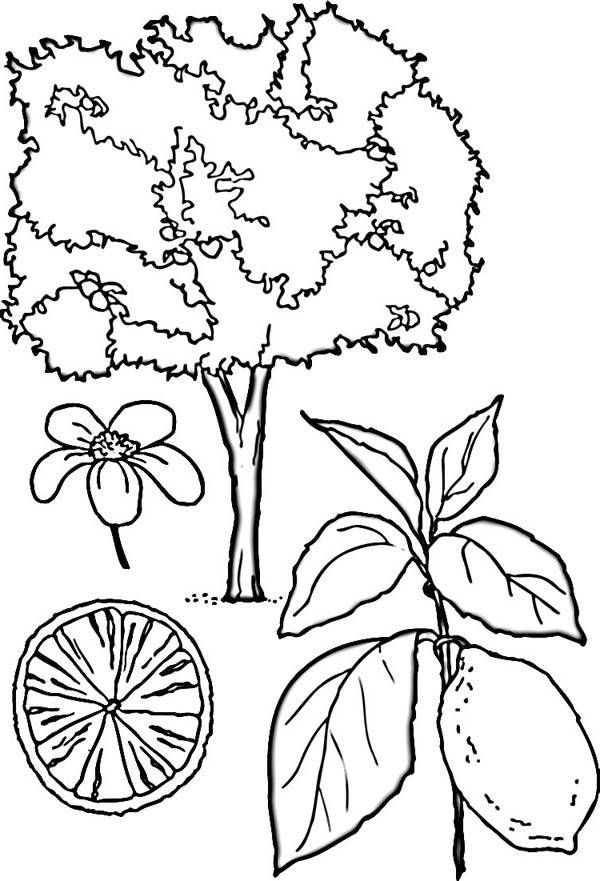 Luxury Lemon Tree Coloring Page Composition - Ways To Use Coloring ...