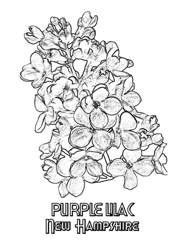 purple lilac coloring page new hampshire purple lilac coloring page