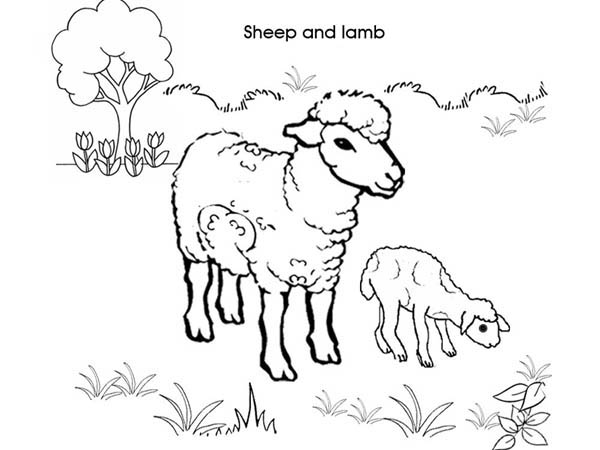 Picture Of Sheep And Lamb Coloring Page
