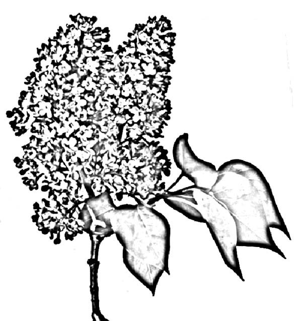 Sketch of Lilac Flower Coloring