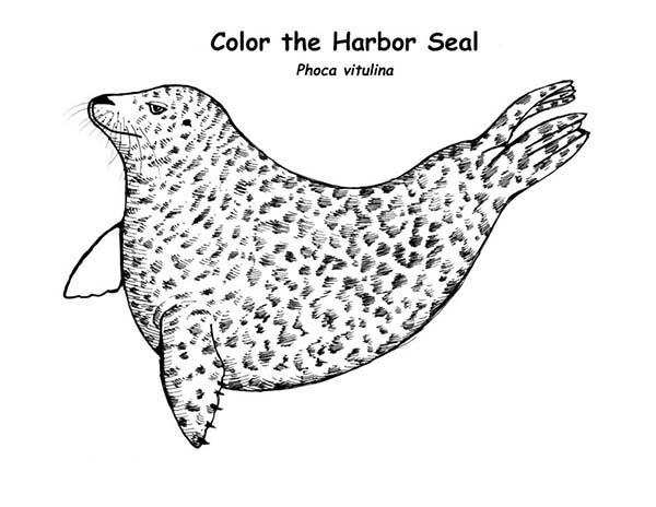 harbor seal coloring pages - photo#8