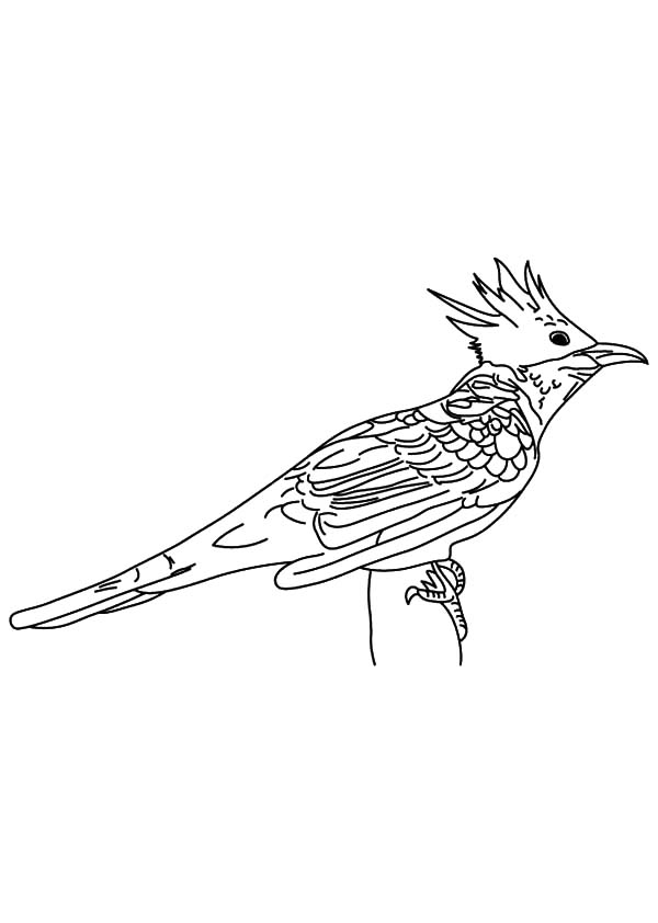 Chestnut Winged Cuckoo Bird Coloring Pages