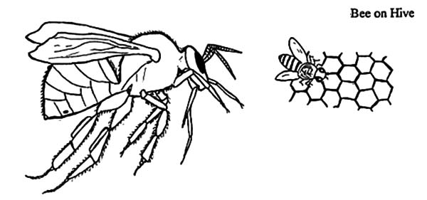 Honey Bee And Beehive Coloring Pages