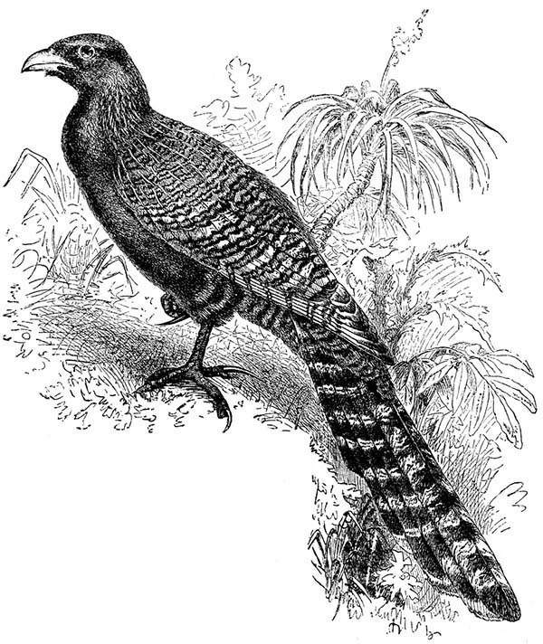 Pheasant Cuckoo Bird Coloring Pages