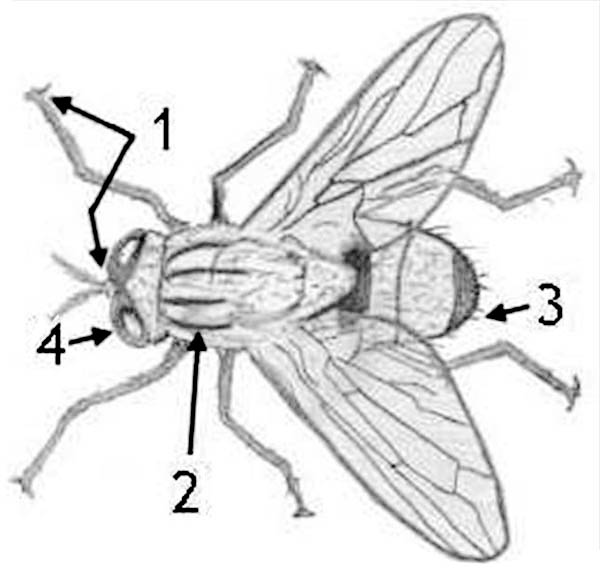 diagram of fly coloring page   coloring sky