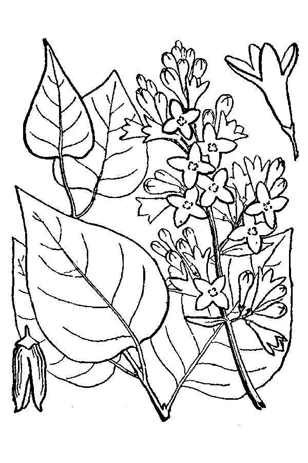 Flowers and Leaves of Lilac Coloring Page | Coloring Sky