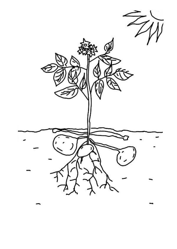 growing plants growing potatoe coloring page