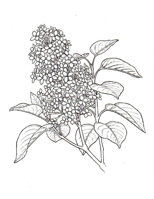 lilac flower plant coloring page coloring sky