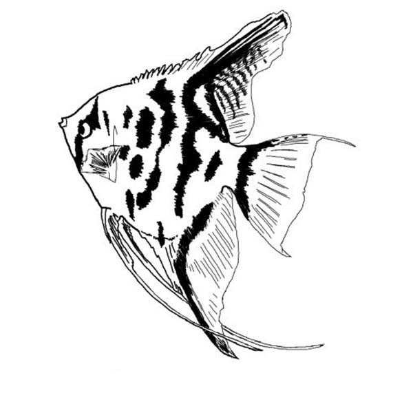 Angel Fish - Coloring Page (Fish) | 600x600
