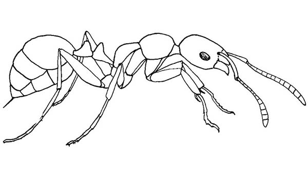 Meat Eater Ant Coloring Page Coloring Sky