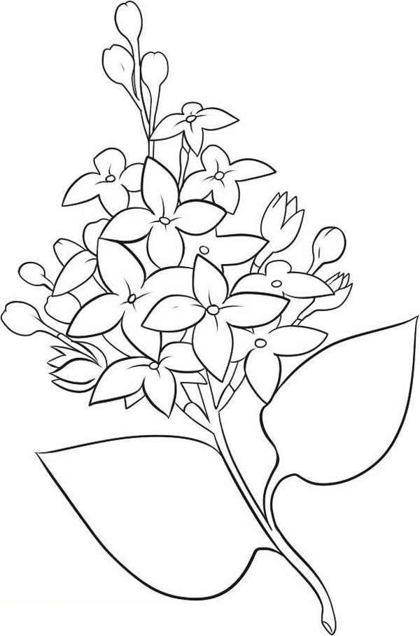 Picture of Lilac Flower Coloring Page Coloring Sky