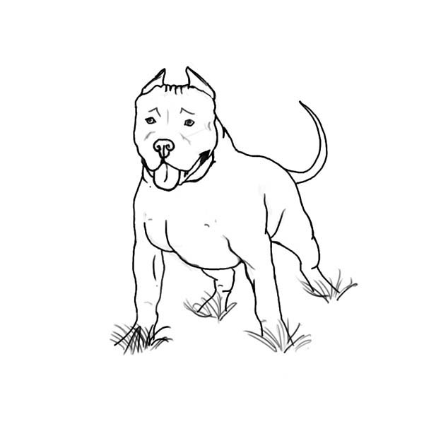 Pitbull, : Awesome American Pitbull Terrier Coloring Page