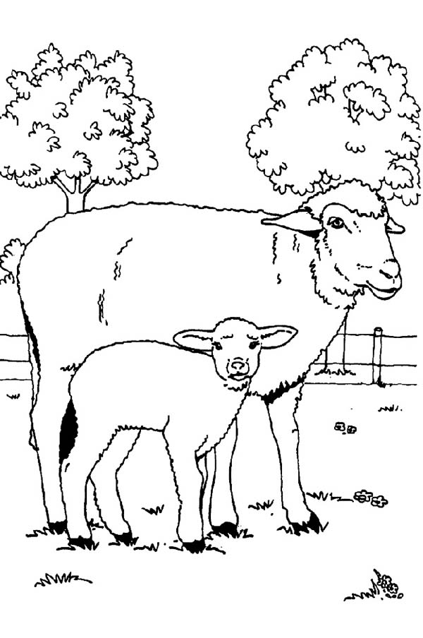 Sheep, : Baby Sheep and Her Mother Coloring Page