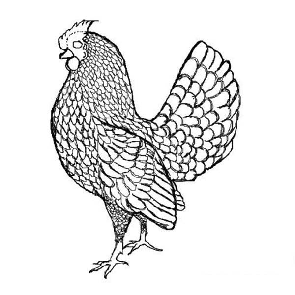 Rooster, : Beautiful Feather of Rooster Coloring Page