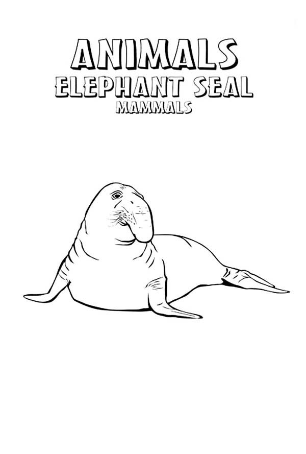 Seal, : Elephant Seal Animal Mammals Coloring Page