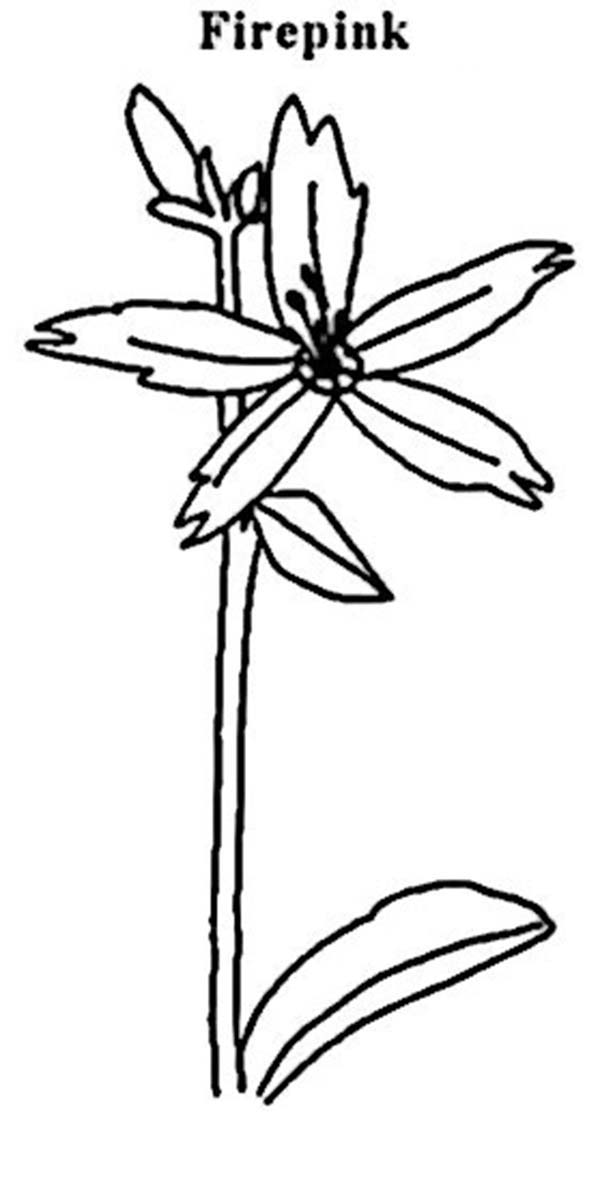 Plants, : Firepink Plants Coloring Page