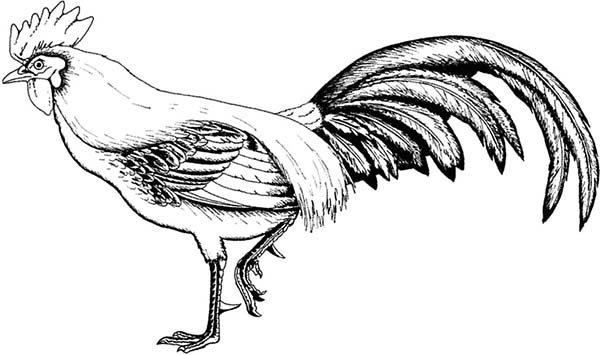 Rooster, : Hungry Rooster Coloring Page