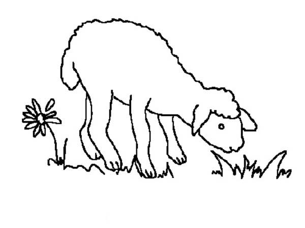 Sheep, : Hungry Sheep Eating Grass Coloring Page