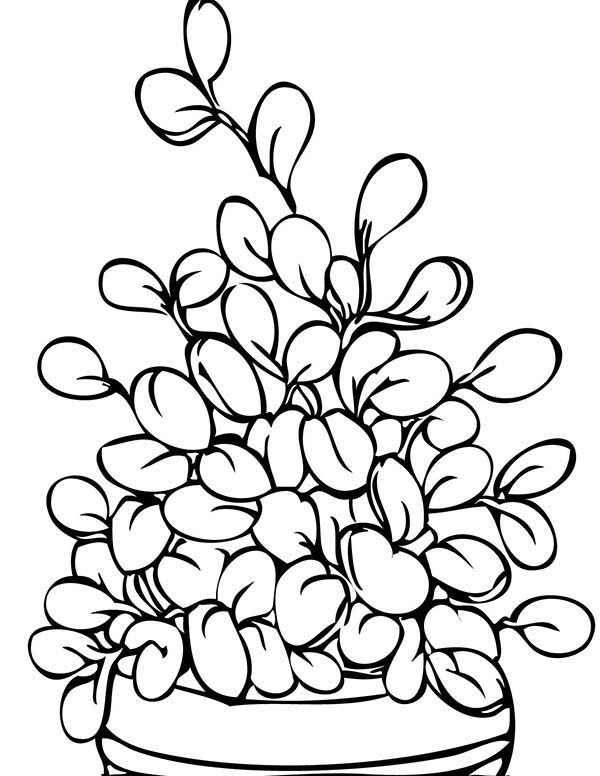 Plants, : Jade Plants Picture Coloring Page