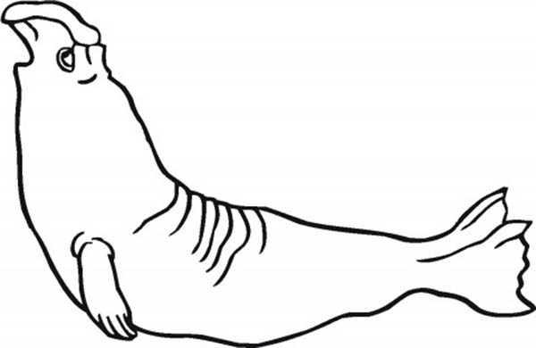 Seal, : Learn about Seal Coloring Page
