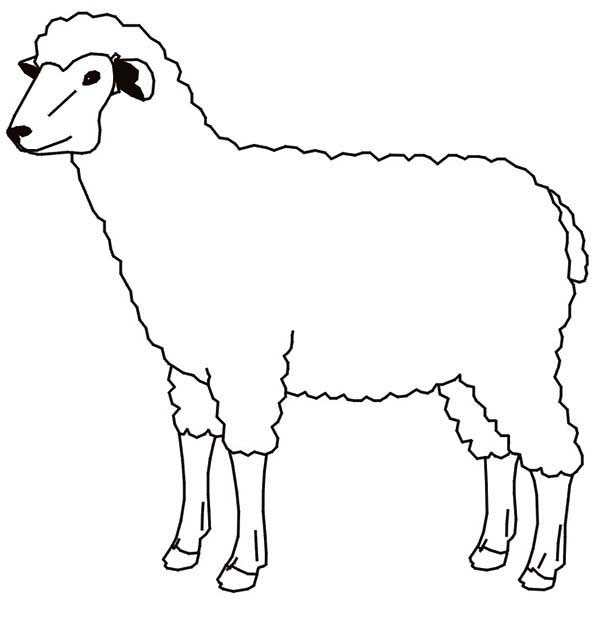 Sheep, : Picture of Sheep Coloring Page