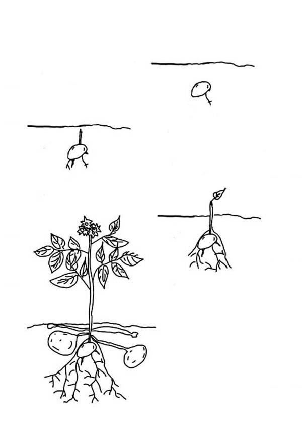 Plants, : Plants Potato Coloring Page