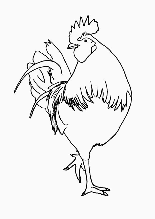 Rooster, : animals_chicken_free_coloring_page