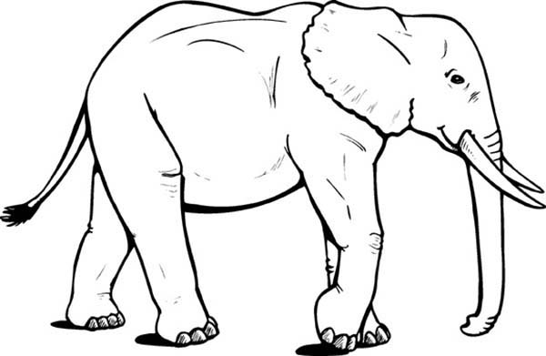 African Elephant Coloring Pages : Coloring Sky