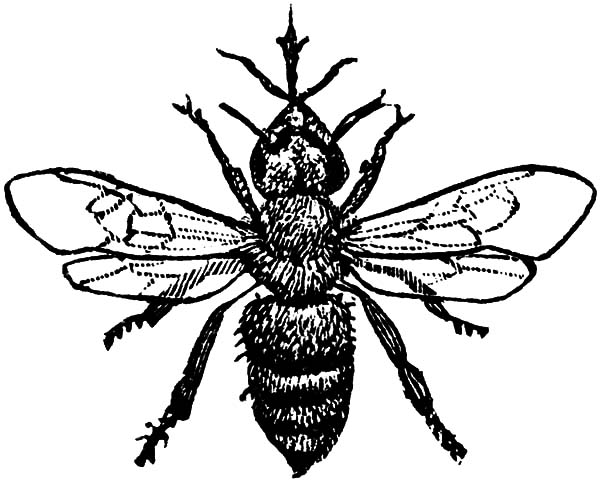 Honey Bee, : Amazing Animal Honey Bee Coloring Pages