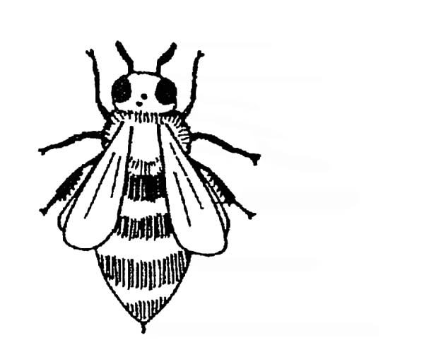 Honey Bee, : Diagram of a Honeybee without labels