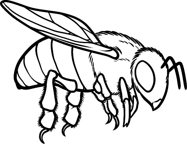 Honey Bee, : European Honey Bee Coloring Pages