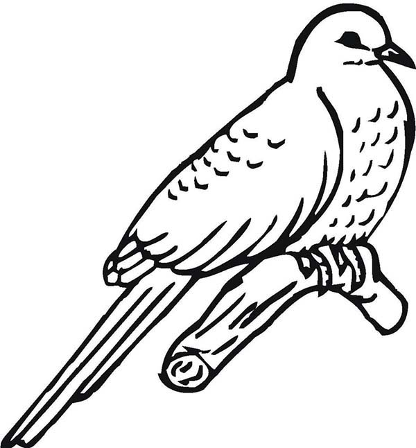 Great Lizard Cuckoo Bird Coloring Pages : Coloring Sky