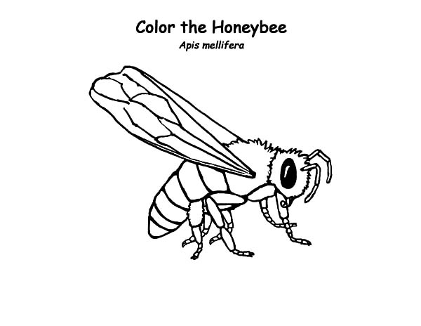 Honey Bee, : Honey Bee Worker Type Coloring Pages