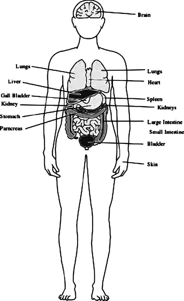 Human Body, : Human Body Outline with Organs Coloring Pages