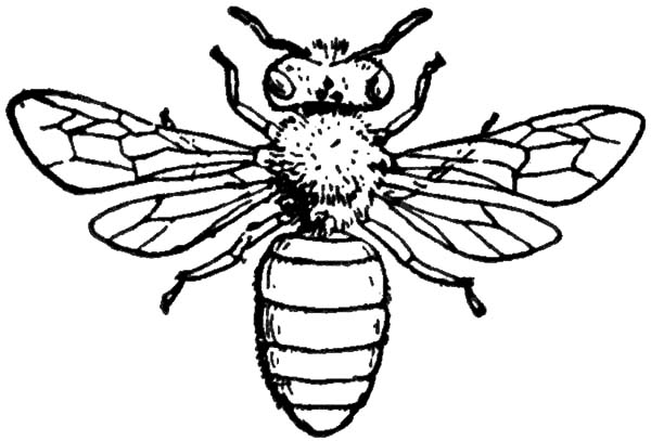 Honey Bee, : Insect Honey Bee Coloring Pages