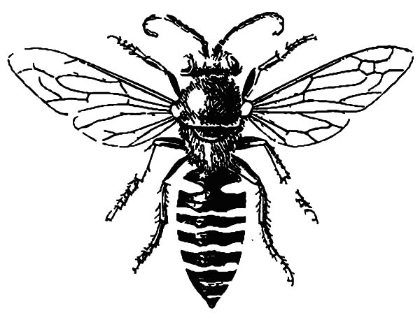 Honey Bee, : Male Honey Bee Coloring Pages