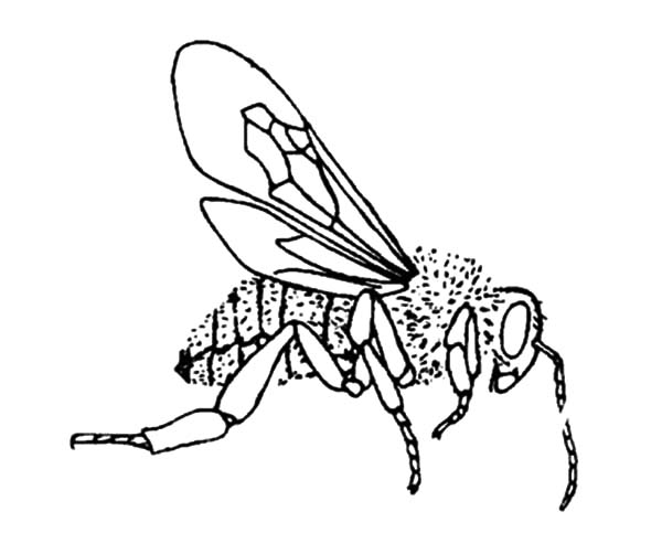 Honey Bee, : World of Insect Honey Bee Coloring Pages